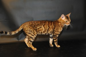 Prionailurus bengalensis – бенгальская кошка.
